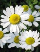 10 Lợi ích đã được chứng minh của tinh dầu hoa cúc La Mã