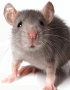 Đuổi chuột bằng tinh dầu bạc hà một cách nhanh chóng