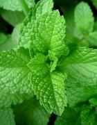 Tinh dầu bạc hà - Peppermint essential oil