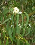 Tinh dầu khuynh diệp - Tinh dầu bạch đàn - Eucalyptus