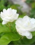 Tinh dầu hoa Nhài - hoa Lài - Jasmine