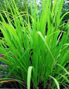 Tinh dầu Sả Gừng - Cỏ Gừng - Ginger Grass