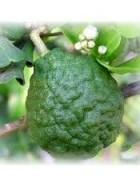 Tinh dầu Chanh Sần-Lime