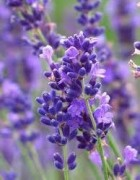 Tinh dầu oải hương - Lavender