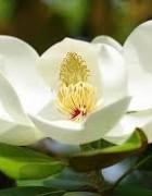 Tinh dầu Hoa Mộc Lan - Magnolia